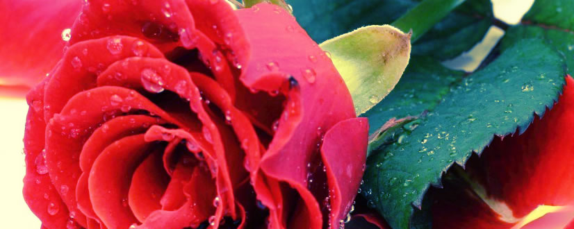 photoshop rosas