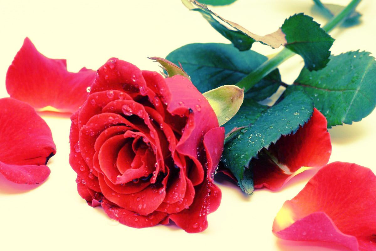 rosa-e-petalas-editada
