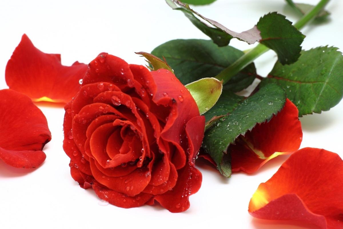 rosa-e-petalas-original